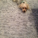 Milpitas-Dog-carpet-clean